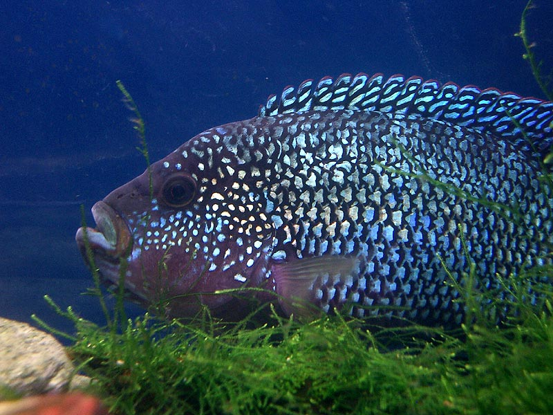 Electric blue jack dempseys what do they really look for Jack dempsey fish